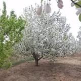 八棱海棠苗木
