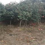 6公分茶花树