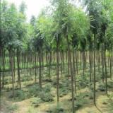 5公分栾树市场价多少 5公分栾树批发价格