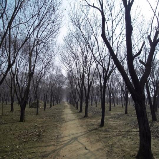 12公分板栗樹各規格板栗樹