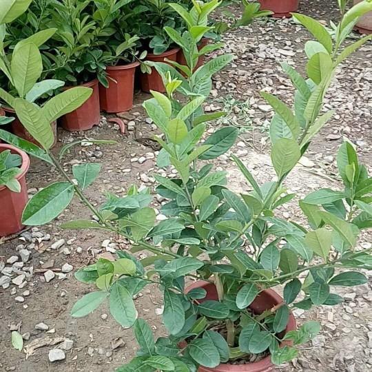 香水柠檬树苗