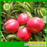 1公分-2公分-3公分桃树苗价格