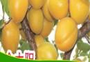 供應杏樹苗-山東杏樹苗繁育基地