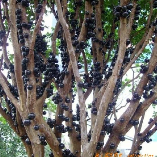 嘉寶果、樹葡萄、嘉寶果樹苗、多寶果