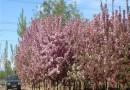 5公分红宝石海棠