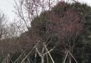 中國紅山櫻花 福建山櫻花 4-7公分福建山櫻花