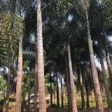 狐尾椰子价格 头颈35-40狐尾椰子