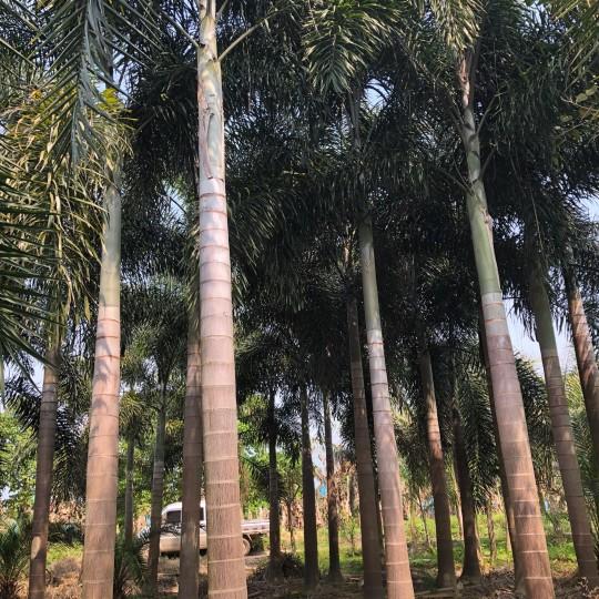 狐尾椰子價格 頭頸35-40狐尾椰子
