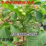 种植核桃树苗- 嫁接核桃树苗多钱一颗