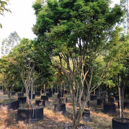 嘉寶果 樹葡萄  頭頸10-13公分 嘉寶果