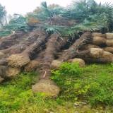 哪里有棕榈树种植基地 江苏棕榈基地批发