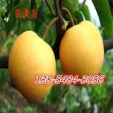 2公分梨树苗-矮化梨树苗多钱一颗