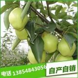 基地直销圆黄梨树苗 黄金梨树苗、红香酥梨树苗价格