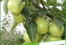 基地直销?#19981;?#26792;树苗 ?#24179;?#26792;树苗、红香酥梨树苗价格