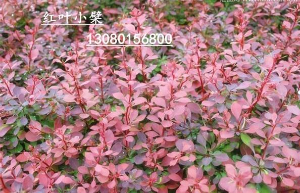 红叶小檗价格_红叶小檗 - 中国花木网