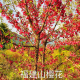 福建山樱花、7公分山樱花