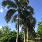 狐尾椰子杆高6米大量批发供应