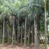 2米大王椰子杆大量批发