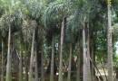 大王椰子杆高2米大量批发