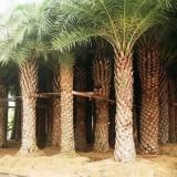 中东海枣银海枣杆高6米-8米大量批发