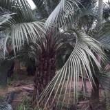 布迪椰子各种规格大量供应,批发