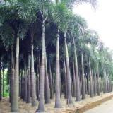 狐尾椰子杆高3米大量批发供应