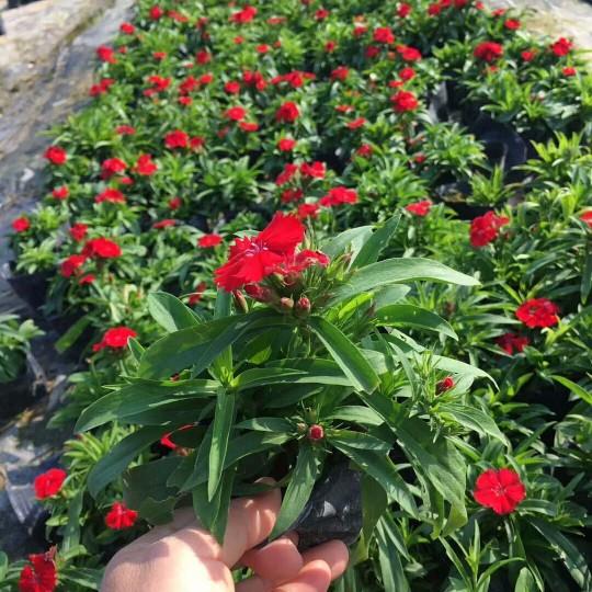 石竹花  多色石竹花(高15厘米)洛阳花