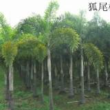 狐尾椰子杆高4米大量批发供应