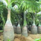 酒瓶椰子杆高2米大量批发供应