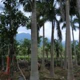 大王椰子杆高4米批发