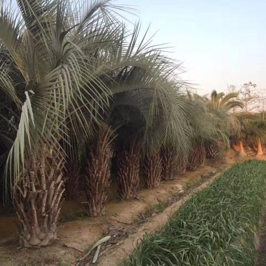 桿高2米布迪椰子  凍子椰子,弓葵