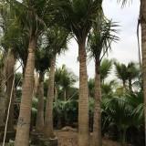 国王椰子杆高2.5米大量批发供应