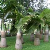 杆高3米酒瓶椰子