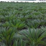 铁树苏铁各种规格大量批发供应