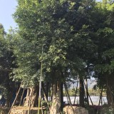 小叶榕榕树5公分-10公分大量批发