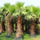 老人葵1.5米-2.5米大量批发供应