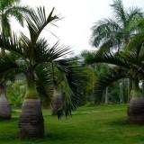 高1.5米酒瓶椰子批发