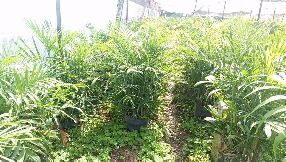 夏威夷椰子 夏威夷竹 夏威夷竹价格 (高度1米冠50价格45)