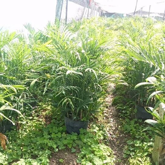 夏威夷椰子 夏威夷竹 夏威夷竹價格 (高度1米冠50價格45)