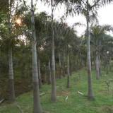 狐尾椰子杆高5米大量批发供应