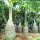 4米高酒瓶椰子批发