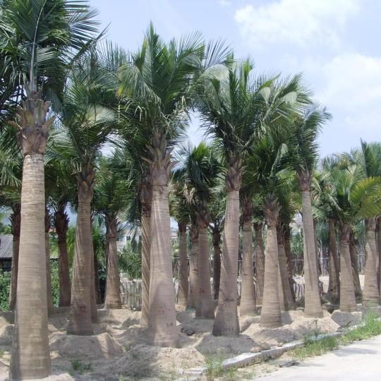 国王椰子杆高3米大量批发