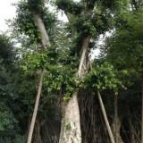 小叶榕榕树10-20公分大量批发