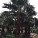 老人葵杆高2.5米-3.5米大量批发供应