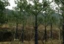 美丽异木棉美人树φ30-60公分批发13599656861