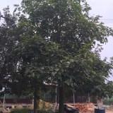 澳洲火焰木5-10公分大量批发供应
