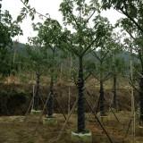 美丽异木棉美人树φ10-15公分批发13599656861