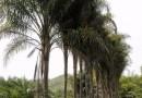 皇后葵   金山葵 (杆高5-6米)皇后葵价格