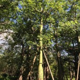 美丽异木棉美人树φ15-20公分批发13599656861