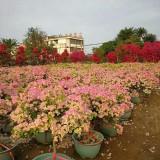 樱花三角梅、各花色三角梅!高度80-1米价格250